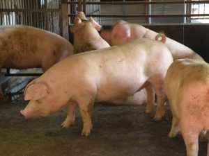 生後約150日で体重60kgまで成長した豚