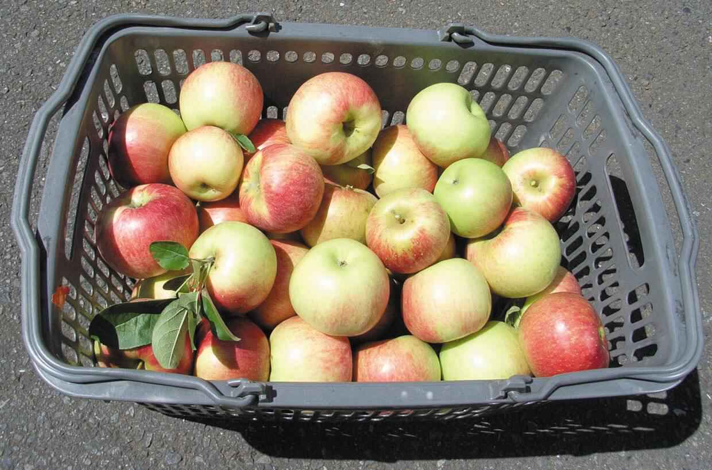 今日採りのりんご