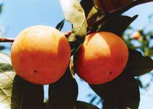 富有:秋の味覚、甘柿を代表する品種。