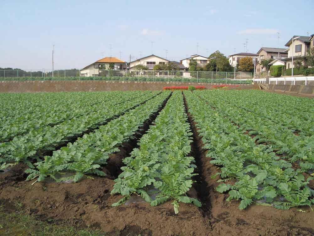 飯田の葉付大根の畑