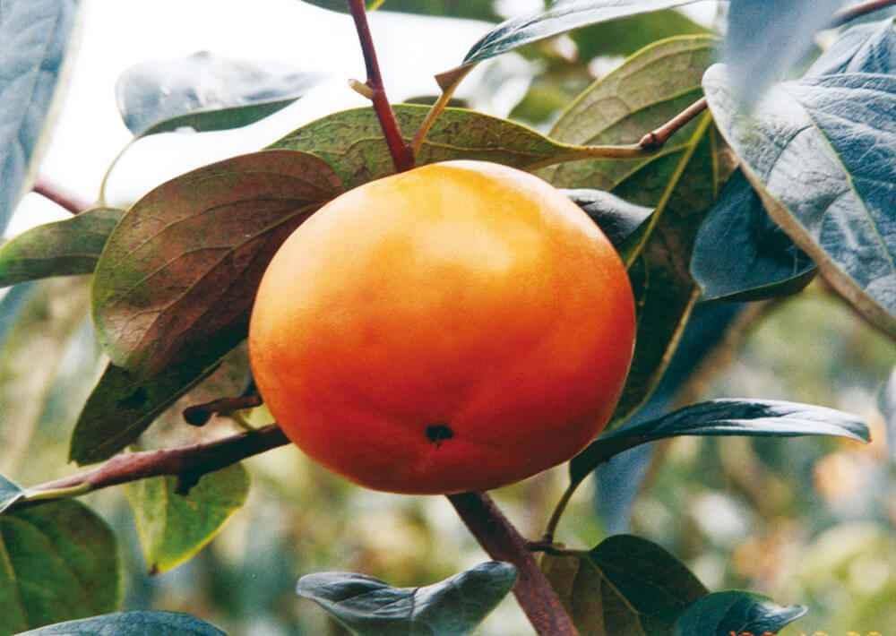 松本早生富有:味は富有に似るが熟期がより早い。