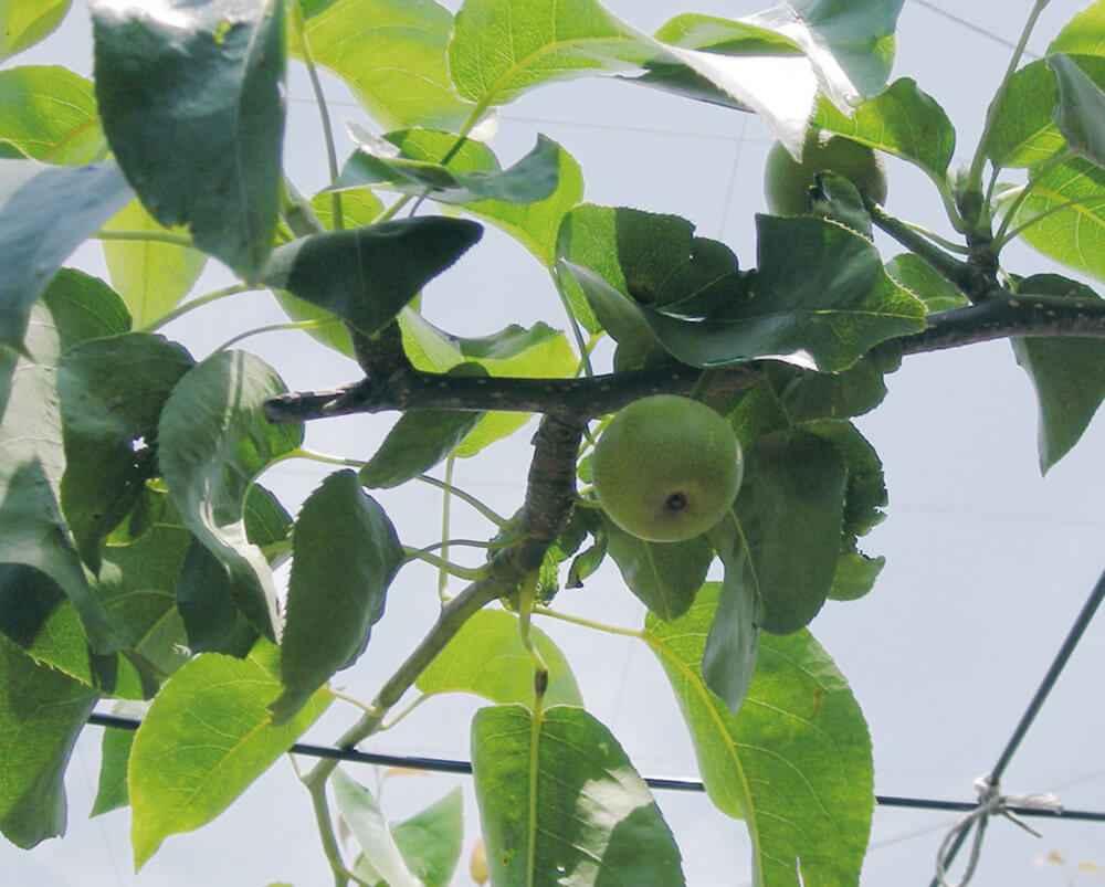 無袋栽培のナシ