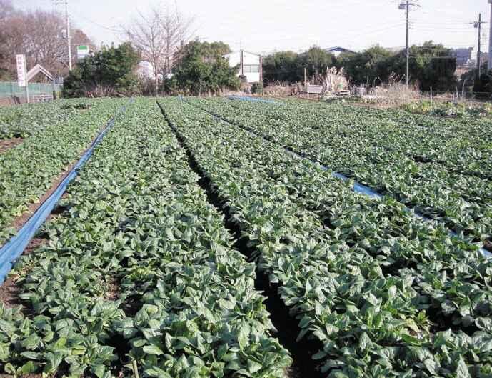 横山さんのほうれん草と小松菜の畑