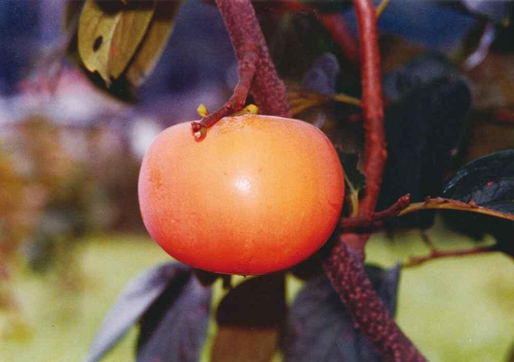 新秋:早生種で最も糖度が高い新種。